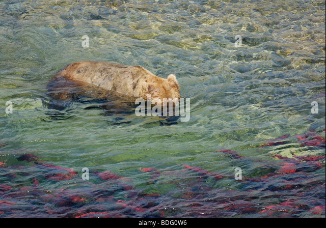 Brown bear or grizzly bear, Ursus arctos horribilis, with head underwater hunting for  salmon - Stock Image
