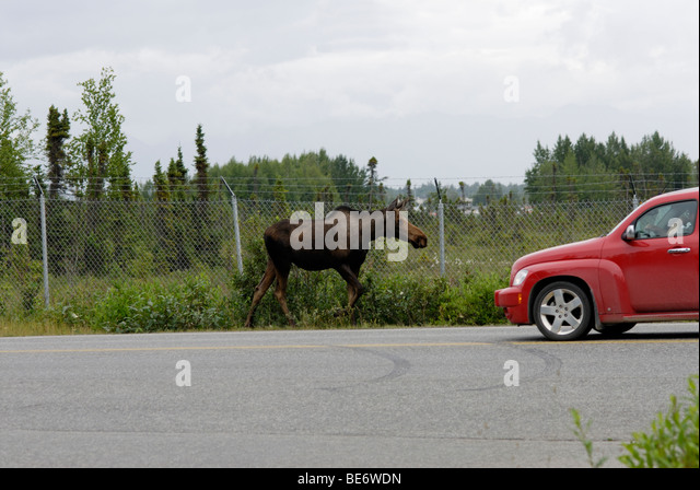 Moose on road, Anchorage, Alaska - Stock Image