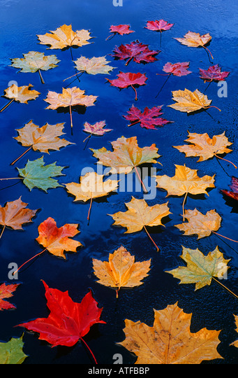Maple leaves on asphalt - Stock Image