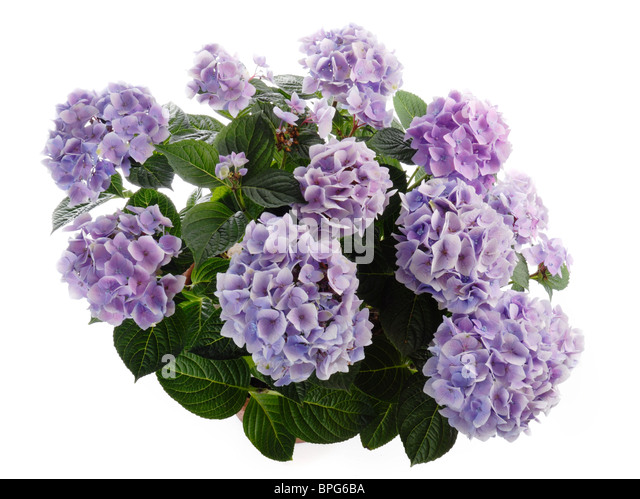 hydrangea macrophylla stock photos hydrangea macrophylla stock images alamy. Black Bedroom Furniture Sets. Home Design Ideas