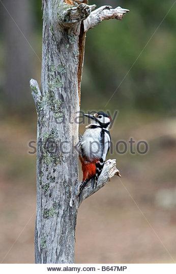 Finland, Ruhtinansalmi, near Suomussalmi, Wildlife Centre Martinselkonen Erakeskus. Great Spotted Woodpecker, Dendrocopus - Stock-Bilder