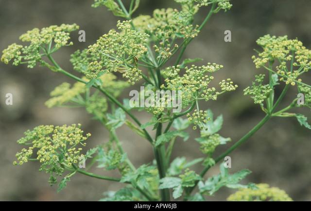 wild parsnip (Pastinaca sativa), blooming - Stock Image