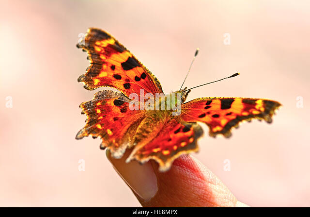 Comma Butterfly rest on a finger, - Stock Image