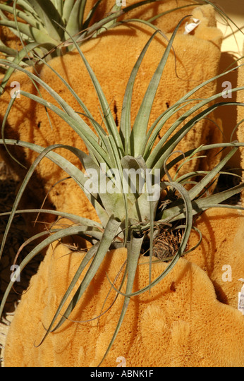 Tarpon Springs Florida Airplant growing in sponge will not need to be watered - Stock Image