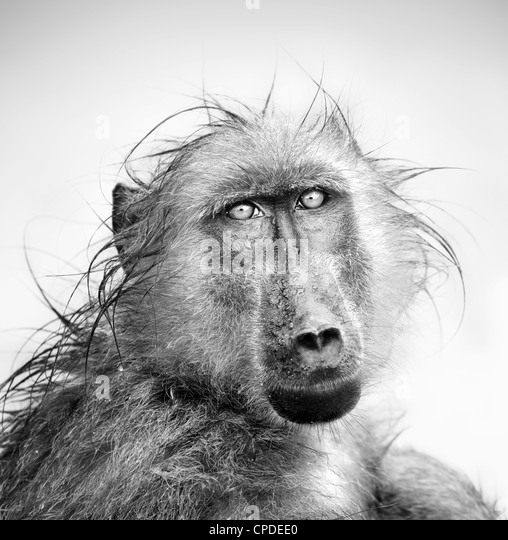 Baboon in rain (Artistic processing) - Stock Image