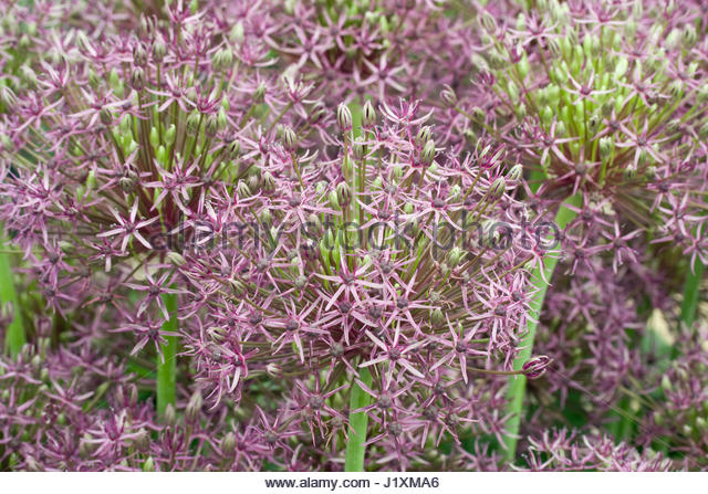 ALLIUM 'FIRMAMENT' - Stock Image