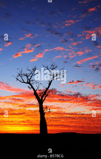 Boab tree at sunrise, Kimberley, Western Australia, Australia, Pacific - Stock Image