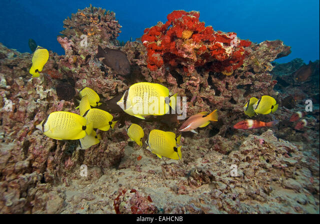 Butterfly fish hawaii stock photos butterfly fish hawaii for Hawaii reef fish