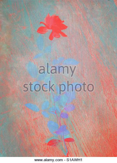 The Rose' - Stock Image