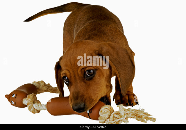Miniature dachshund domestic dog on white background Ten week old puppy Named Monty Property released - Stock Image