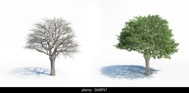 Two isolated trees with and without leafs - Stock Image
