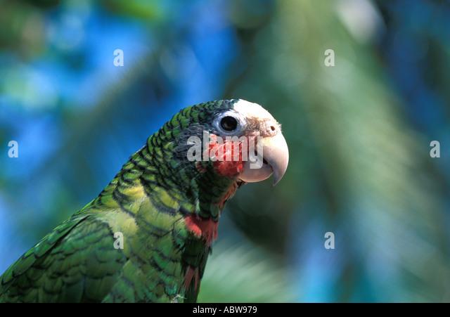 Cayman Islands Cayman Parrot caribbean birds, animals and nature - Stock Image