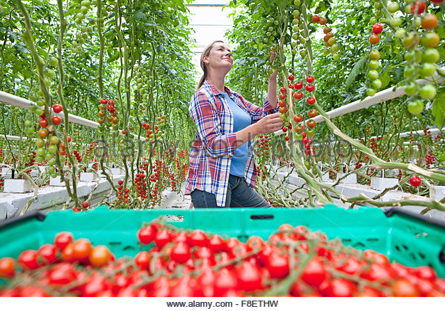Grower inspecting and harvesting ripe red vine tomatoes in greenhouse - Stock Image