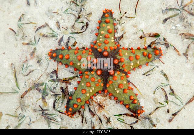 Colorful starfish on wet sand, Zanzibar island - Stock Image