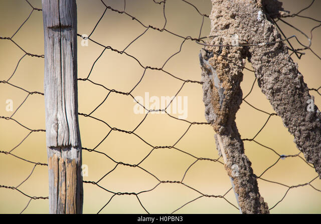 Earthen foraging tubes made by termites covering a wooden fence posts - Stock Image