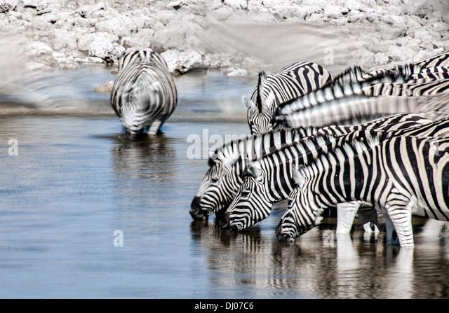 Zebra in Etosha National Park - Stock Image