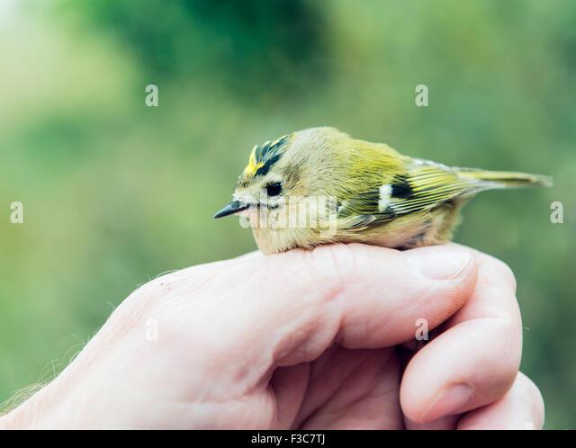 Bird ringing - Stock Image