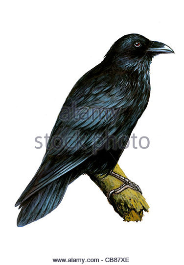 Ravens bird species Series Songbird - Stock-Bilder