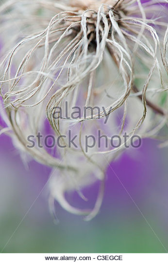 Clematis Boulevard flower seed head against purple allium flower background - Stock Image