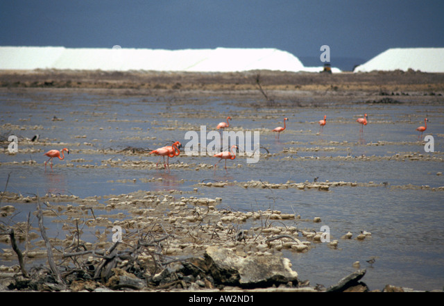 Bonaire Netherlands Antilles Flamingoes Solar Salt Pans - Stock Image