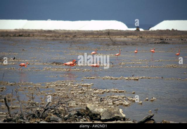 Bonaire Netherlands Antilles Flamingoes Solar Salt Pans - Stock Image