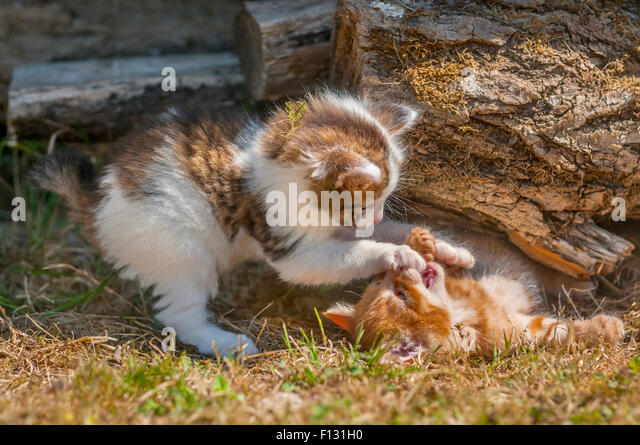 Tabby and ginger tom kittens playing - France. - Stock Image