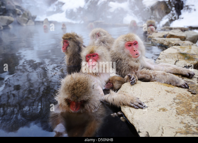 Japanese Snow Monkeys bath in hot springs in Nagano, Japan. - Stock Image