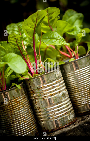 Swiss Chard growing in cans - Stock Image