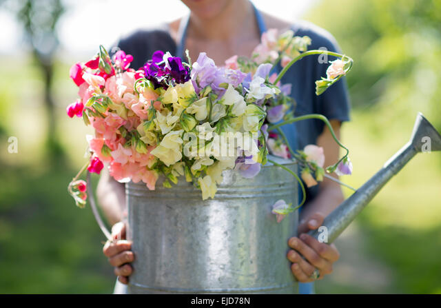 Sweet peas, Lathyrus odoratus, in container - Stock Image