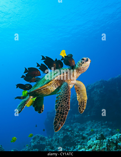 Green Sea Turtle cleaned by Fishes, Chelonia mydas, Big Island, Hawaii, USA - Stock-Bilder