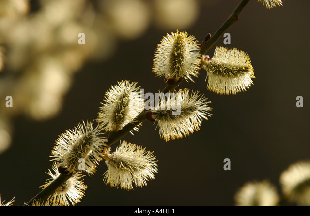 Blossoms of Goat Willow in backlight exposition - Stock Image