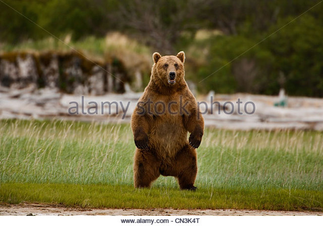Brown bear, Katmai National Park, Alaska - Stock Image