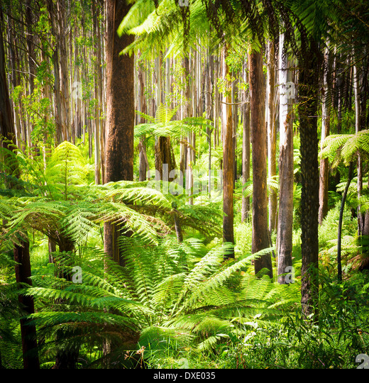 Lush green ferns, tree ferns and towering mountain ash along the Black Spur, Victoria, Australia - Stock Image