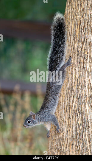 Arizona Gray Squirrel Sciurus arizonensisMadera Canyon, Santa Rita Mountains, Arizona, United States11 July     - Stock-Bilder