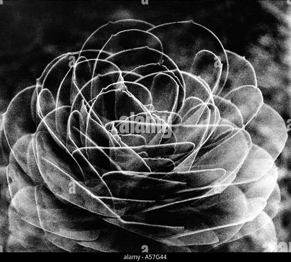 Cactus Flower lines design graphic 1974 - Stock Image