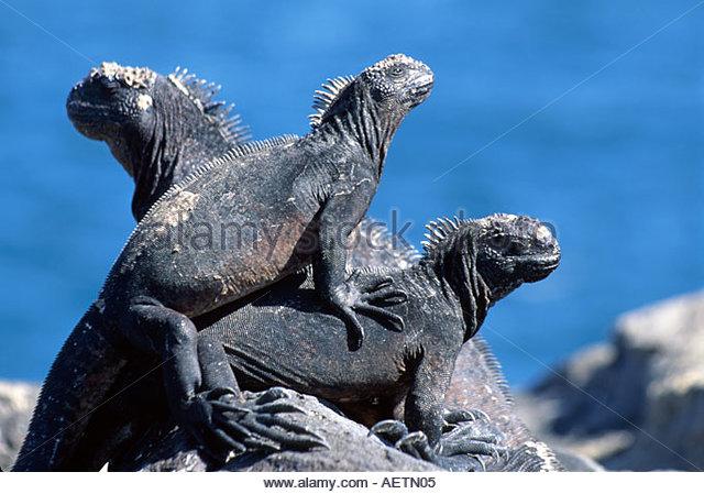 Ecuador Galapagos Islands South Plaza Island three male land iguana - Stock Image