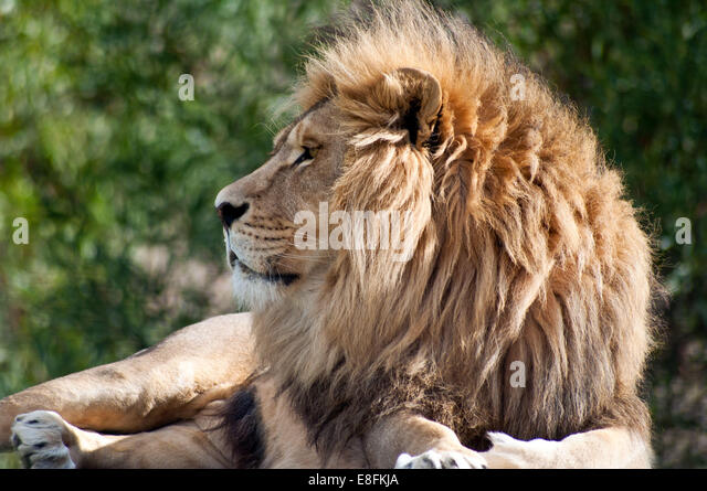 Portrait of a lion resting, Limpopo, South Africa - Stock Image