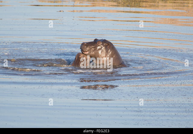 Hippo in a pond - Stock Image