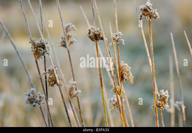 Frosty reeds - Stock Image