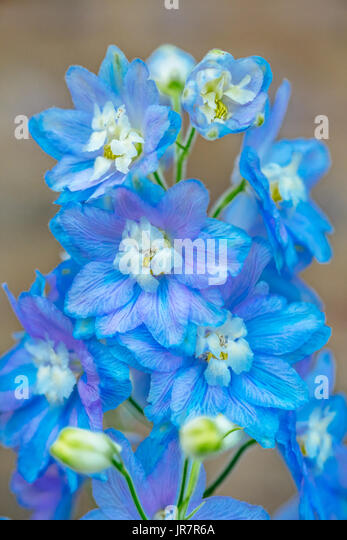 Blooming blue delphinium flowers also known as Blue Mirror variety, in a garden setting. - Stock Image