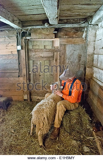 Sheep shearing at a small business organic farm in upstate NY - Stock Image