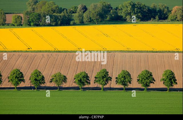 Aerial view, canola field, parkway, field strips, between Rhynern and Uentrop, Hamm, Ruhrgebiet region, North Rhine - Stock Image