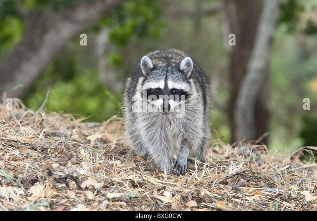 The Raccoon (Procyon lotor), also known as Common Raccoon, is a medium-sized mammal native to North America. - Stock Image