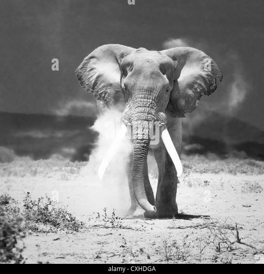 old elephant - Stock Image