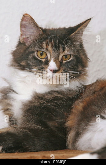 Domestic Cat, Maine Coon (Felis silvestris, Felis catus, portrait - Stock Image