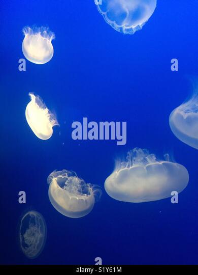 White jellyfish - Stock Image