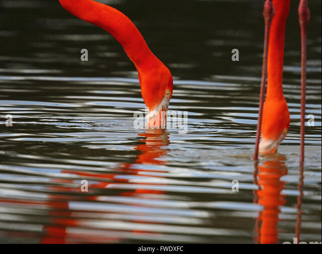 Caribbean Flamingo (Phoenicopterus ruber) - Stock Image