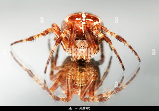 Garden spider or Cross spider Araneus diadematus on a mirror - Stock Image
