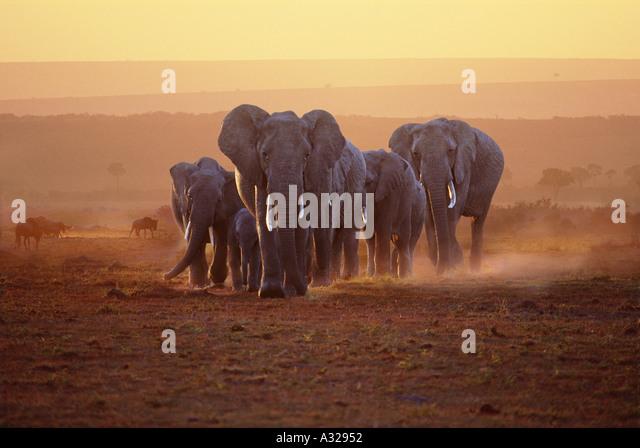 Elephant family at dawn Masai Mara Kenya - Stock-Bilder