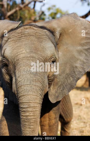 African elephant Loxodonta africana Young calf play charging South Africa Dist Sub Saharan Africa - Stock-Bilder